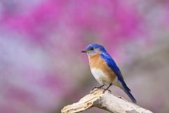 bluebird purple background2 ( explore ) (G_Anderson) Tags: backyard birds birding missouri spring redbud bluebird