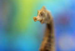 And the seahorse wins by a nose (OzzRod) Tags: pentax k1 multicoatingpentacon50mmf18auto seahorse bokeh portrait blur dailyinjanuary2019