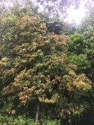 Rockinghamia angustifolia (FNQ vines) Tags: rockinghamia angustifolia mountainkamala kamala arffs redarffs greenarffs arfp australianrainforestplants uplandarf qrfp queensland euphorbiaceae towalla wooroonoorannationalpark tropicalarf