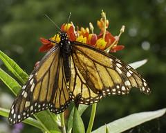 MonarchButterfly_SAF1391 (sara97) Tags: copyright©2018saraannefinke missouri photobysaraannefinke saintlouis butterfly monarch monarchbutterfly insect flyinginsect pollinator