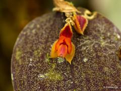 Miniature Orchid, Lepanthes embreei (Ecuador Megadiverso) Tags: andreaskay ecuador jardinbotanicolasorquideas lepanthesembreei lepanthesiricolor orchid