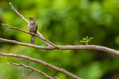 KUNGWE APALIS (Ezio Donati is ) Tags: uccelli birds animali animals natura nature alberi trees westafrica costadavorio abidjan areadeslagunes