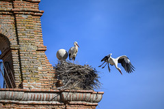 couple of storks in a bell tower in Segovia_Spain (Rolando Cardeñoso) Tags: hagaclicaquíparaañadirpalabrasclave spain animal architecture belfry bell bird birdwatching building city europe fauna flight freedom group habitat migrate nest outdoor outside scene spanish stork storks tower wild wildlife