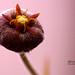 Flower of Stapelia erectiflora