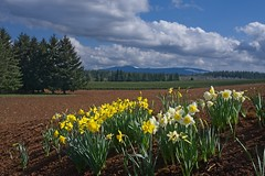 Daffodils Planted Field 3817 A (jim.choate59) Tags: jchoate on1pics spring sunny daffodils field oregon scenic landscape molallaoregon