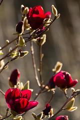 Magnolie im Abendlicht (schnuffelkind1) Tags: bokeh canon abendlicht goldenestunde genie magnolie pflanzenwelt