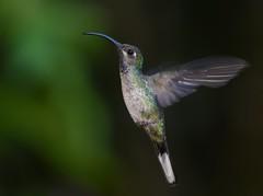 Violet Sabrewing - female (anacm.silva) Tags: violetsabrewing ave hummingbird bird beijaflor colibri wild wildlife nature natureza naturaleza birds aves bajosdeltoro costarica campylopterushemileucurus coth coth5 ngc