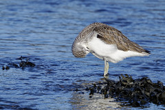 Green shank (Oleg Gontar) Tags: ireland louth dundalk sea ocean irishsea animal bird cute portrait tringanebularia shank greenshank