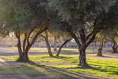 The Olive Grove (Stephen G Nelson) Tags: olive tucson arizona canoneosrebelsl1100d