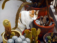 Tallahassee among the Cactuses [Explored] (EmperorNorton47) Tags: portolahills california photo digital winter polydactyl hemingwaycat cat calicocat caliby tallahassee cactus cacti outdoors containergardening pottedplants littledoglaughedstories containergarden pottedplant