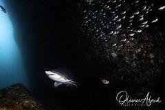 IMG_8985-MDive1 (oalard) Tags: australia australie nelsonbay shark requin sousmarine submarinephotography canon 5d leo3 retra
