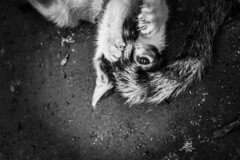 Kitten playing with mother's tail. (Praveen Banneka) Tags: cat kitten tail node cute blackandwhite nails upside invert edited cats kittens paws ground earth memory vintage filter pinhole photoshop effect dirt eyes mostcute most nice beautiful small mimi tomcat mother motherslove play playful time playtime hobby pets shop pet house home playfull