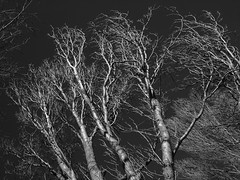 Winter Trees (cycle.nut66) Tags: blackandwhite grayscale winter light orange filter effect trees branches twigs stark skeleltal form sky dark bark organic forms olpympus epl1 evolt micro four thirds mzuiko