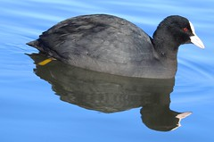 Coot (Fulica atra) (Nick Dobbs) Tags: coot fulica atra rail crake bird dorset rallidae pond water animal waterfowl