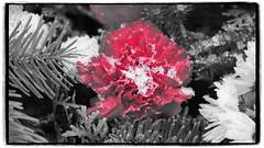 Explosion (1elf12) Tags: braunschweig germany deutschland friedhof winter cemetary nelke carnation