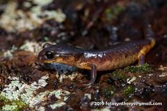 Yellow-eyed Ensatina (Ensatina eschscholtzii xanthoptica) DSC_5376 (fotosynthesys) Tags: yelloweyedensatina ensatinaeschscholtziixanthoptica ensatina lunglesssalamander plethodontidae salamander amphibian california unitedstates