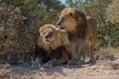 African Lions (fascinationwildlife) Tags: animal mammal predator wild wildlife nature natur na park addo south africa afrika african südafrika lion male dominant pride patrol territory eastern cape löwe big cat
