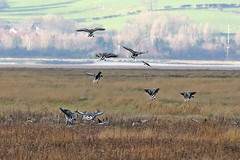 Pink-footed Geese (Roy Lowry) Tags: anserbrachyrhynchus parkgate pinkfootedgoose riverdee