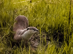 African Clawless Otter (selvagedavid38) Tags: otter botswana chobe river hunter fishing namibia safari africa mammal reeds grass bank