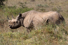 Kenya 2019 (Ian Macfadyen) Tags: rhino blackrhino endangered nairobinationalpark kenya horn aphrodisiac medicinal purposes proteceted kws