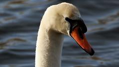 Swan (roland_tempels) Tags: swan bird water nature supershot vrasene belgium animal