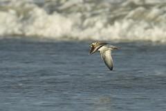 Grand Gravelot Charadrius hiaticula - Common Ringed Plover     CED_5324 (cedric provost) Tags: france bretagne guisseny oiseau bird cedricprovost