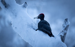 Snow Bath (MrBlackSun) Tags: blackwoodpecker black woodpecker blackpecker finland landscape nature bird birds birdlover birdlife wildlife birdlovers hideout nikon d850 nikond850