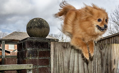 Boo the jumping Pomeranian. . . (CWhatPhotos) Tags: cwhatphotos camera photographs photograph pics pictures pic picture image images foto fotos photography artistic that have which contain dog dogs canine pet small named cute cool pose portrait poser posing big ears boo pom pomeranian zwergspitz dwarfspitz dwarf spitz pompom olympus digital omd em10 mkll ii prime panasonic 20mm f17 g20mm littledoglaughedstories flickr jump jumping over doggy portraits