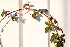 A little spring spider (Eva Haertel) Tags: eva haertel outdoor wand wall detail ranke branch blätter foliage blackberry brombeere spinne spider minimalism spring frühling strase street