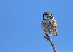 Northern Hawk Owl...#11 (nature calls...) (Guy Lichter Photography - 4.7M views Thank you) Tags: owlnorthernhawk canon 5d3 canada manitoba winnipeg wildlife animal animals bird birds owl owls waldo
