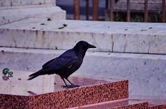 135 - Paris - Février 2019 - cimetière de Montmartre (paspog) Tags: paris france corbeaux février february februar 2019 cemetery cimetière friedhof cimetièredemontmartre montmartre corbeau raven crow ravens crows