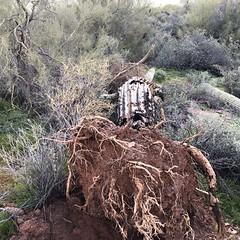 Fallen Saguaro Cactus (rodeochiangmai) Tags: arizona plants saguaro