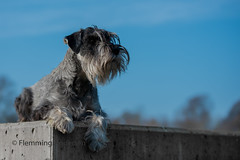 The Queen (Flemming Andersen) Tags: abby dog outdoor schnauzer animal jelling regionofsoutherndenmark denmark dk
