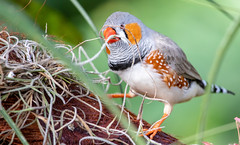 Zebra Finch (vincenttolley) Tags: bird bloedel aviary 77d canon 55250 mm