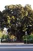 Ficus Macrophylla [Valencia - 29 January 2019] (Doc. Ing.) Tags: 2019 nikond5100 valencia hortadevalència comunitatvalenciana comunidadvalenciana spain