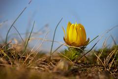 Spring Adonis (richard.kralicek.wien) Tags: spring flowers nature macro