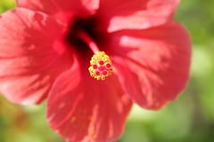 IMG_0433 Hibiscus (Fernando Sa Rapita) Tags: baleares mallorca sarapita canon canoneos eos1300d sigma sigmalens macro flor flower red rojo hibiscus nature