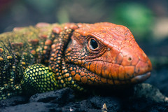 Nothern Caiman Lizard, Dracaena guianensis (birdliv3s) Tags: zooleipzig reptiles animal coldblooded colorful caiman lizard dracaena guinanensis close up 105mm f28 macro makro