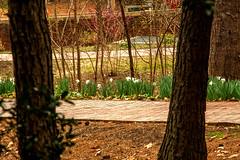 DILO - March 20 2019 Equinox (3) (tommaync) Tags: dilomar2019 equinox spring 2019 march nikon d7500 northcarolina nc dilo nature flowers trees walkway bricks unc theuniversityofnorthcarolina gaa generalalumniassociation gwhillalumnicenter chapelhill