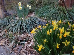 2019-03-20 19.28.38 (littlereview) Tags: potomac flower maryland 2019 littlereview spring blog