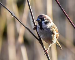 Sparrow F00596 Foulshaw Moss D210bob DSC_6469 (D210bob) Tags: nikond7200 birdphotography birdphotos naturephotography naturephotos nikon wildlifephotography rspb nikon200500f56 sparrow f00596 foulshawmoss d210bob dsc6469