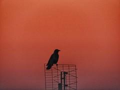 crow's silluete (panoskaralis) Tags: raven crow bird silhouette antenna watching lesvosisland lesvos mytilene greece greek hellas hellenic outdoor nikoncoolpixb700 nikon nikonb700