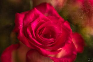 78/365 roos / rose