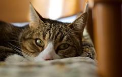 MI GATO EN MI SILLA (Segundo Sánchez) Tags: gato silla calor felino mirada ojos raza común europea