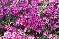 0B6A1591 (Bill Jacomet) Tags: azalea azaleas flower flowers houston tx texas 2019
