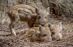 JWL2743 Bah Humbug! (Jeff Lack Wildlife&Nature) Tags: boar boars wildboar humbugs piglets pigs animal animals wildlife wildlifephotography jefflackphotography woodlands woodland woods forest forests forestry forestofdean copse countryside glades nature