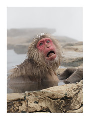 "The Scream (Say ""Wasabi"") Tags: ape nature primates animal bath bathing onsen japan snowmonkeys yudanaka snow monkeys jigokudani macaques edvardmunch thescream"