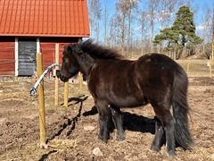 Först i kön… (Patrick Strandberg) Tags: sweden östergötland bergagård eilifur icelandichorse islandshäst horse häst iphone iphonex