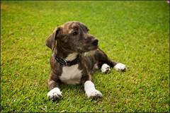 American Staffy cross Wolfhound (Rob Virgona) Tags: robvirgona puppy staffy america americanstaffordshire wolfhound dog grass amstaff amstafx amstaffcross