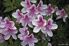 IMG_5582 (Roger Kiefer) Tags: dallas arboretum flowers outdoors beauty nature